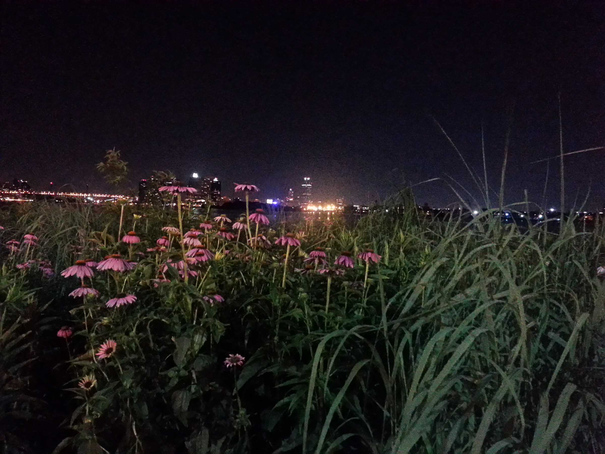 A thicket of tall grass and pink flowers that resemble daisies, on the shore of the East River Park at night.