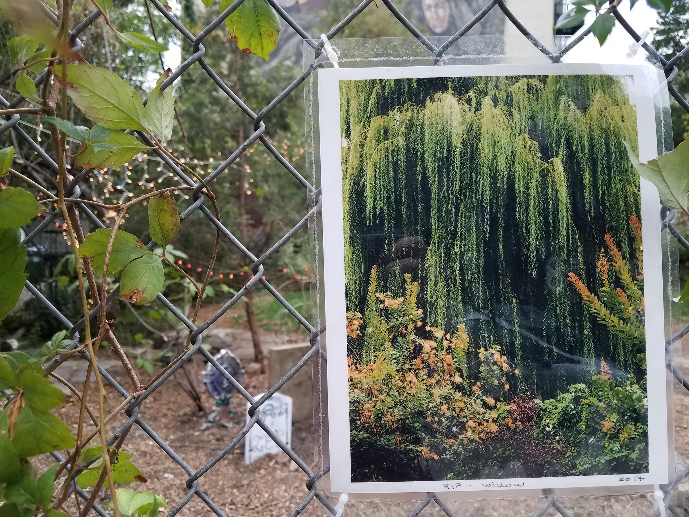 "A laminated photograph of a weeping willow tree surrounded by bushes with the words ""RIP Willow 2017"" handwritten in the bottom margin in pen. The photo is hung on a chain link fence with some climbing weeds growing on it. Behind the fence is a mulched clearing with three novelty gravestones standing in it."