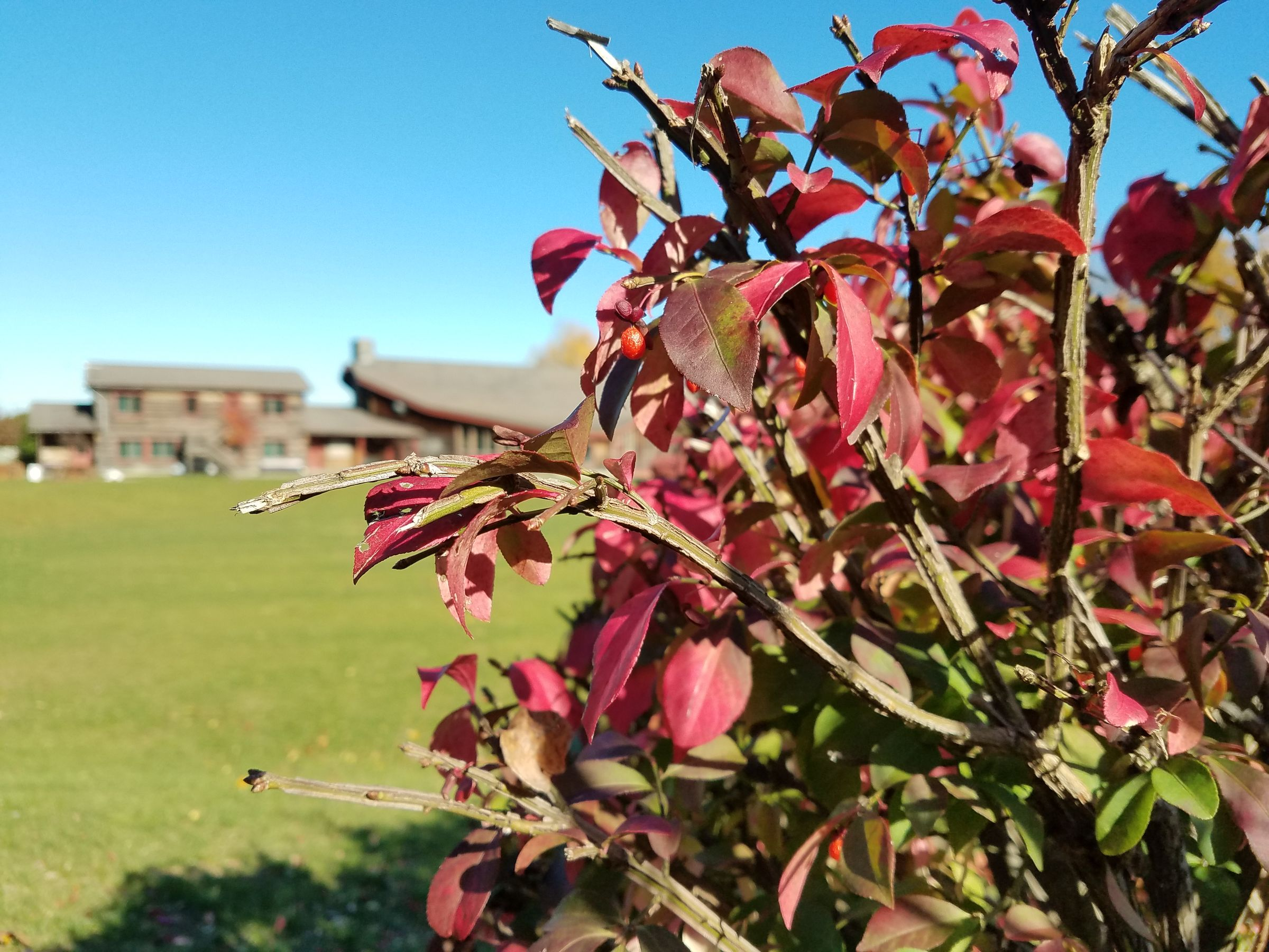 A close-up photograph of a manicured hedge of winged burning bush, showing off its bright red leaves and squared-off, winged branches. A large camp building is in the background, out of focus, and an empty green lawn between there and the hedge. It's a clear, bright day with a blue sky.