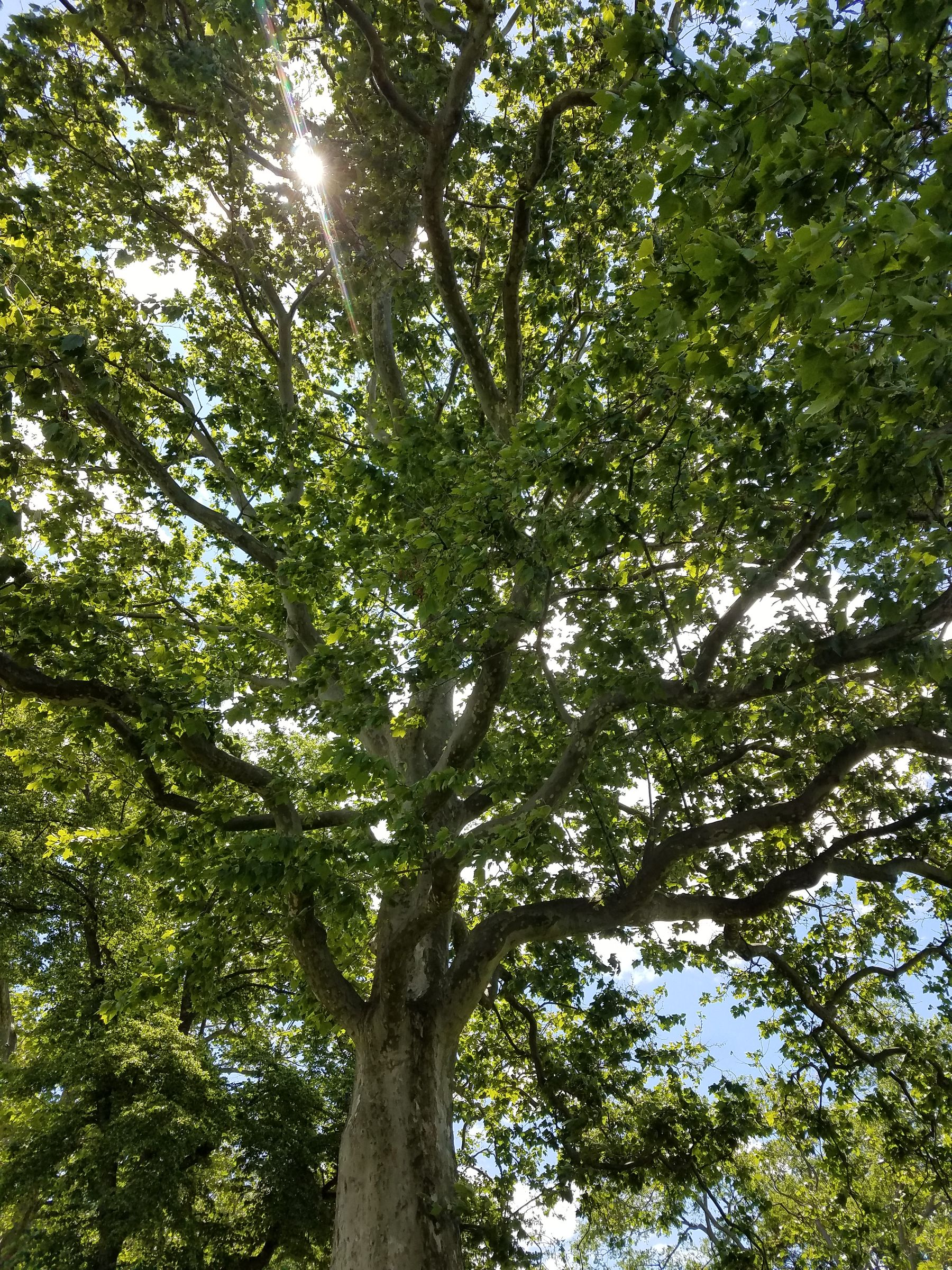 A photo under a tree with very wavy branches, looking up at its crown. The sun poked through its leaves, and there is a blue sky behind it.