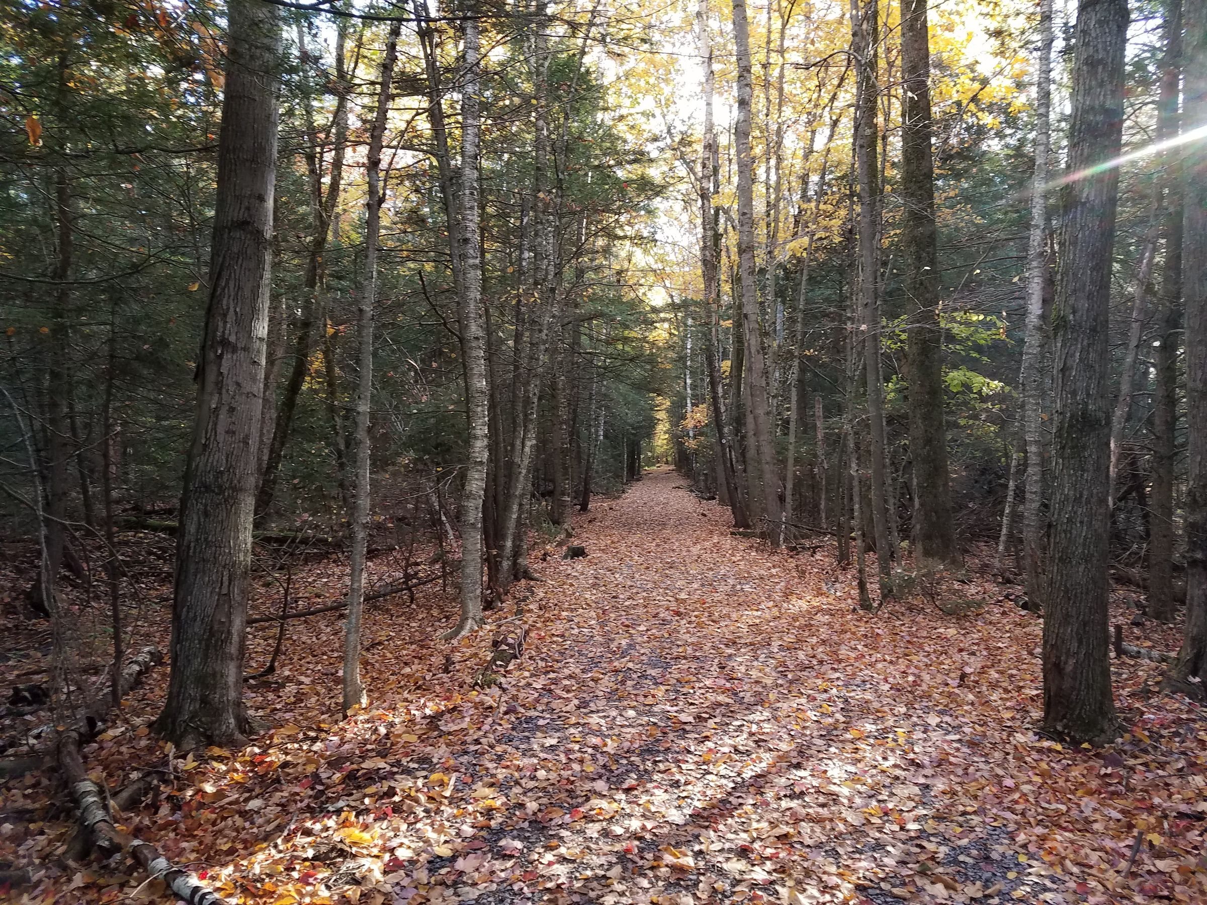 A walking trail through a forest in the morning. The trail is very straight, and no plants encroach on it at all, despite being heavily wooded on both sides. The trees are mostly evergreen conifers and birch trees, and the ground is covered in fallen orange leaves.