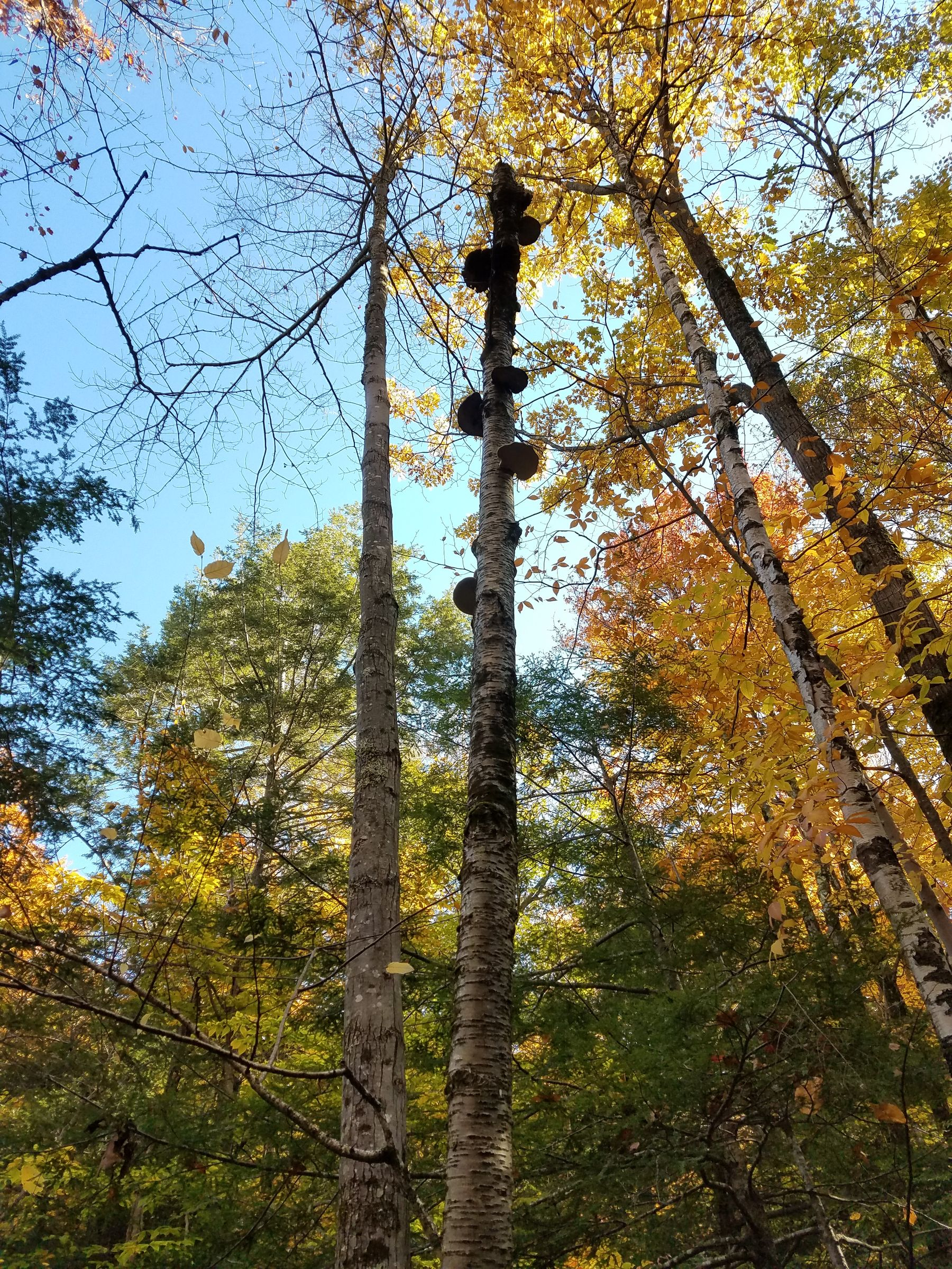 Photo of a dead birch tree trunk surrounded by live birches with orange fall foliage and other trees in the background which are still green. At the top of the tree trunk are over half a dozen birch polypores hanging off of it.